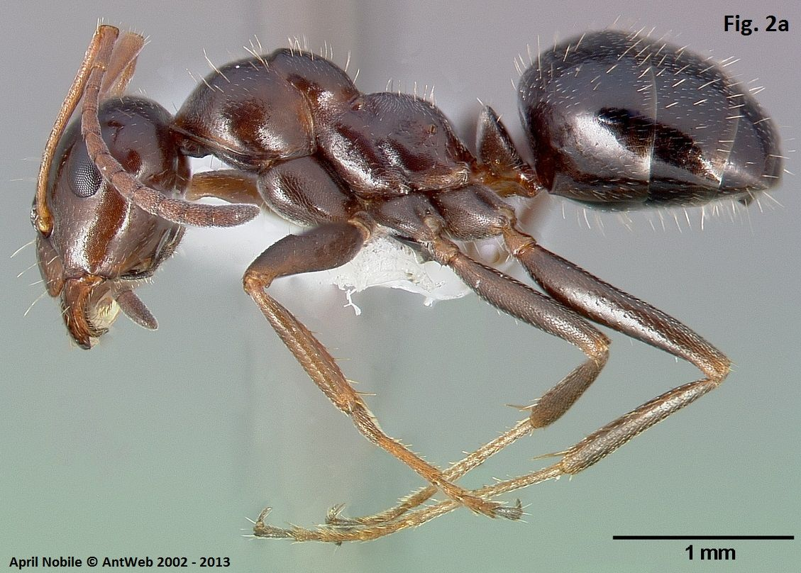 ant ventral - Google Search   Ant Anatomy   Pinterest   Ant