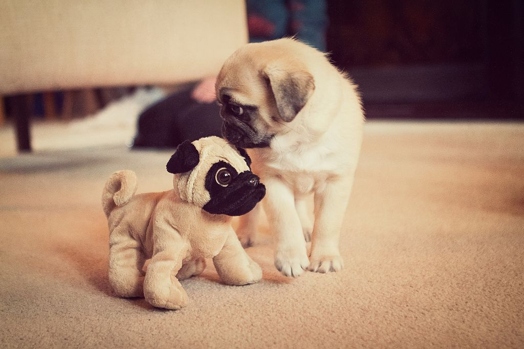 I Only See Improvement Selective Breeding Pugs Cute Pugs