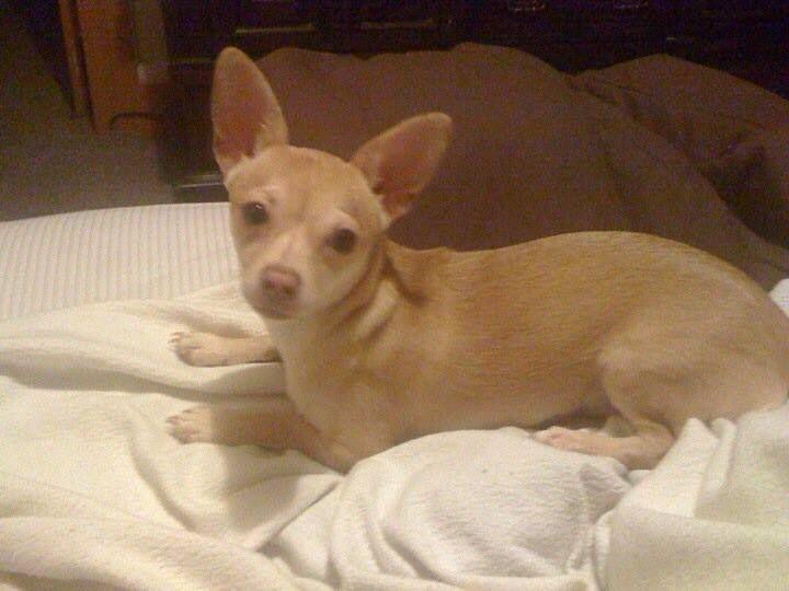 Reunited 7/8/14  Bridgeport, CT - Lost Tan Chihuahua