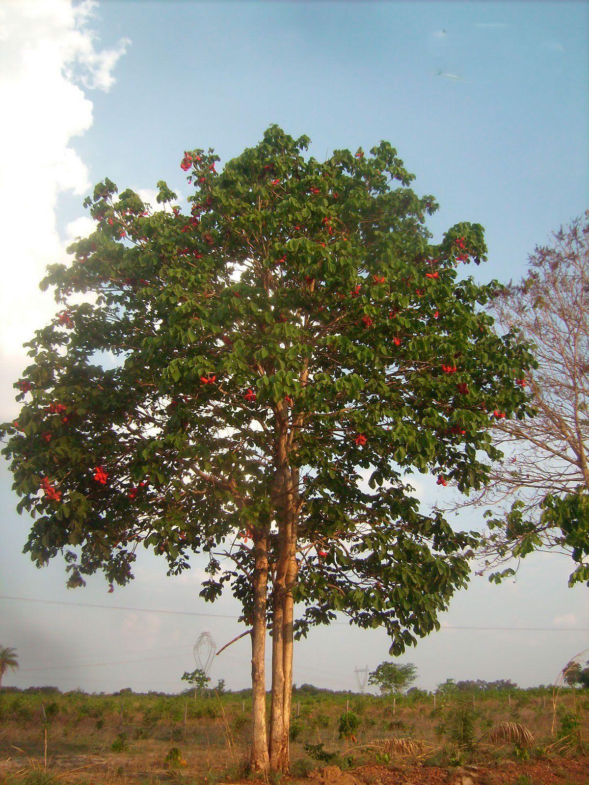 Caliandra do Cerrado: Amêndoa do cerrado - xixá