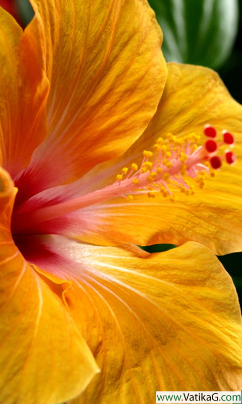 Download Hibiscus hd live wallpapers Android live