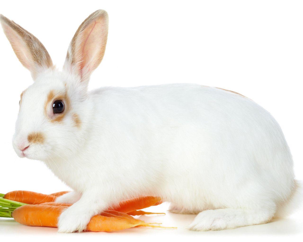 A Rabbit Named Cleo Rabbit Pictures Rabbit Wallpaper Animals