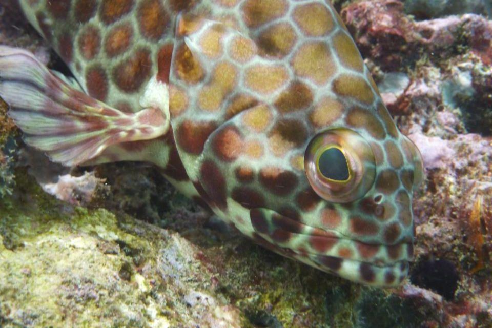 Hexagon grouper Mexico
