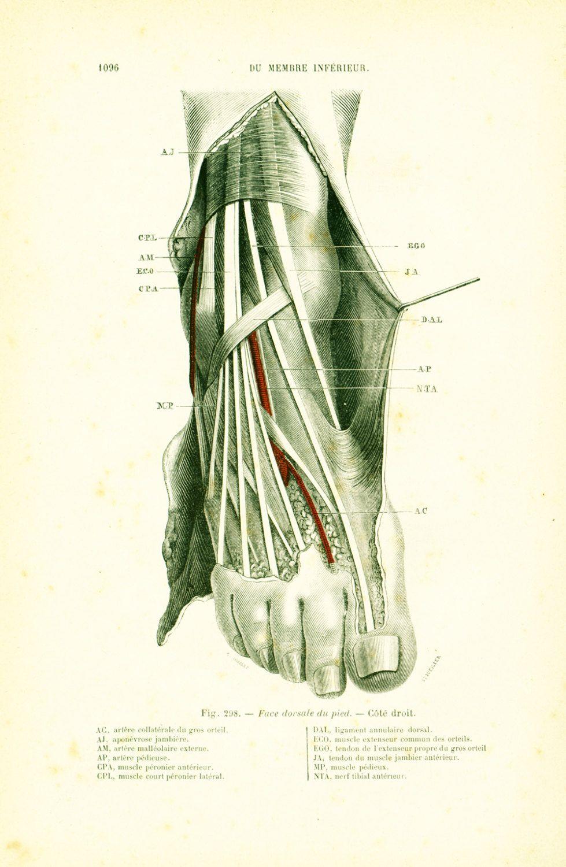 1897 région antérieure du coup de pied planche originale p  tillaux  anatomie chirurgie de la boutique sofrenchvintage sur etsy