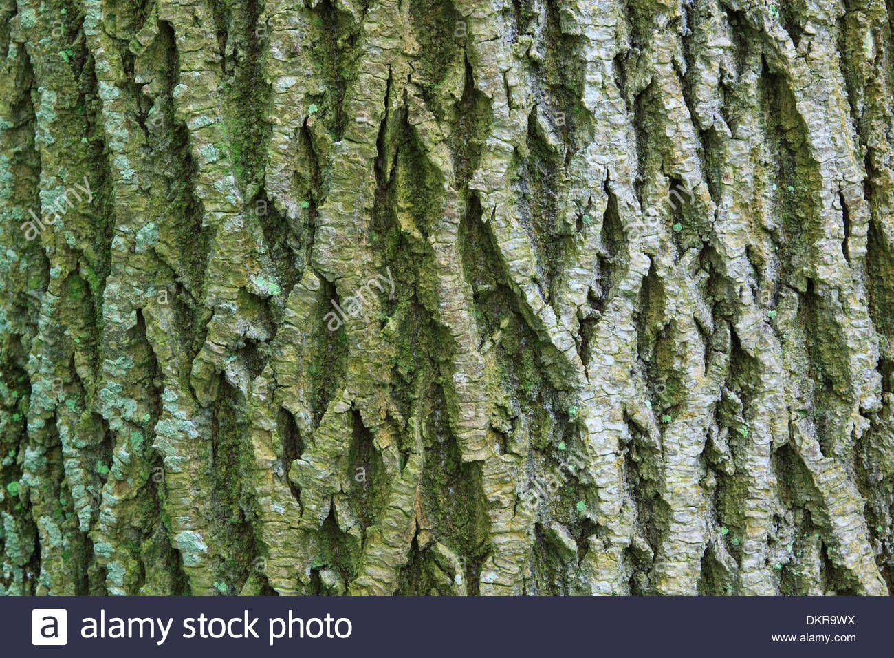 Image result for maple tree bark   Maple Trees   Pinterest   Maple ...