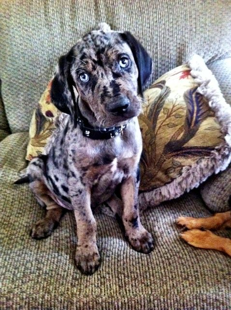 Picture Of A Leopard Cur Dog
