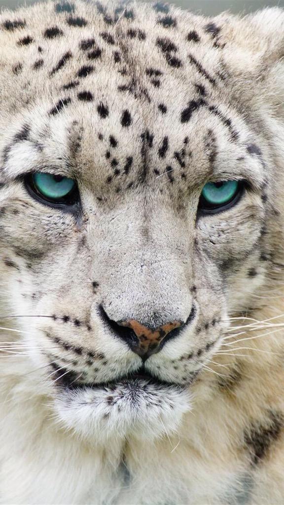 GEO WILD CONSULT on Snow leopard wallpaper, Snow leopard