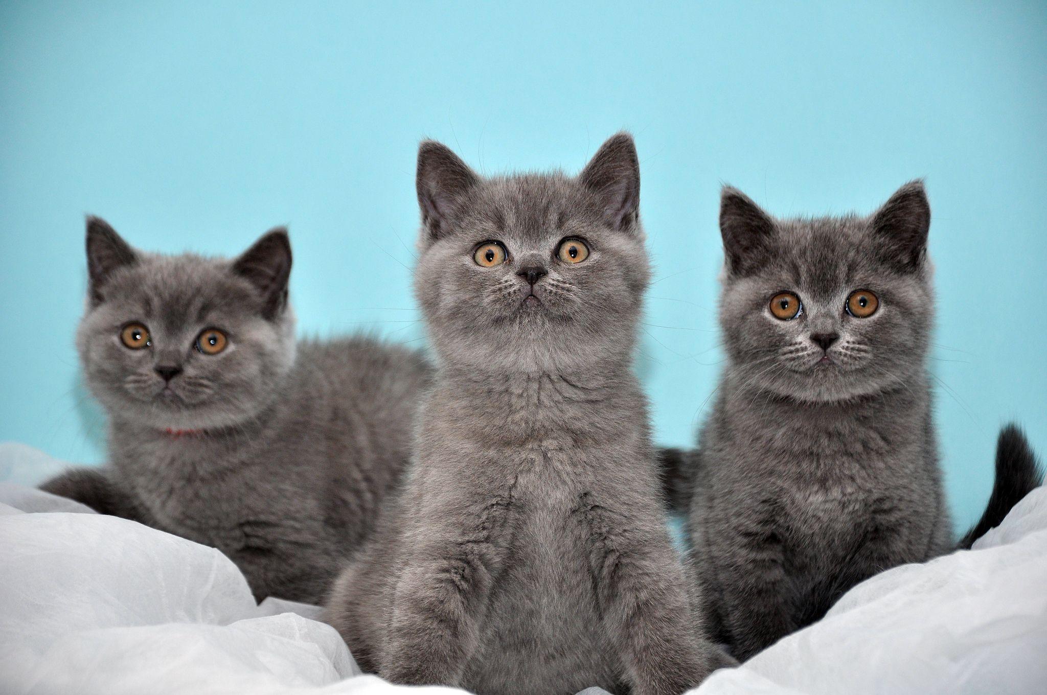 Britisch Kurzhaar Kitten Bkh British Shorthair With Images