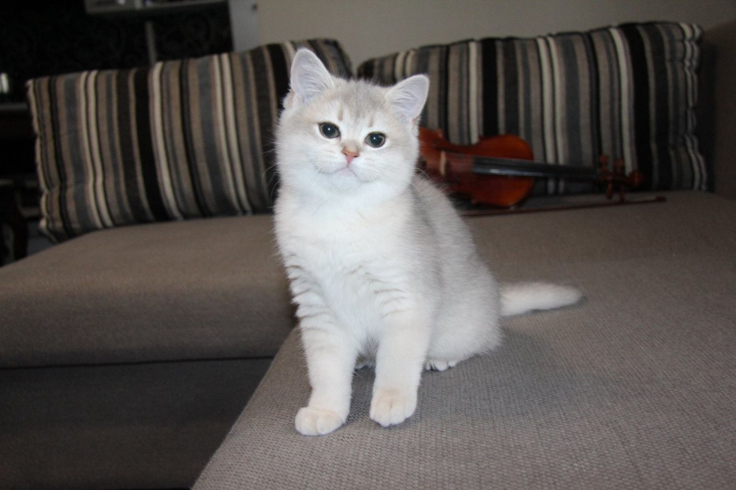 British Shorthair Cats For Sale Fresno Ca In 2020 British Shorthair Cats Cats For Sale Kitten Adoption