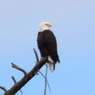 Eagle at Yellowstone