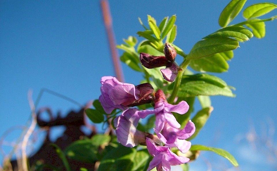 Purple vetch growing proud in Orkney