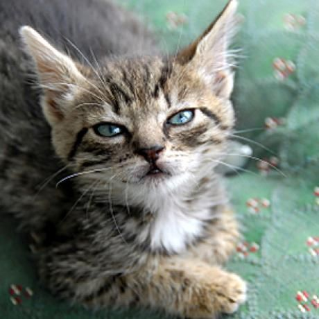 Tips for cleaning your cat's ears safely and the supplies