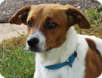 Oxford Ms Cardigan Welsh Corgi Beagle Mix Meet Kip A Dog For Adoption Corgi Beagle Mix Pets Dog Adoption