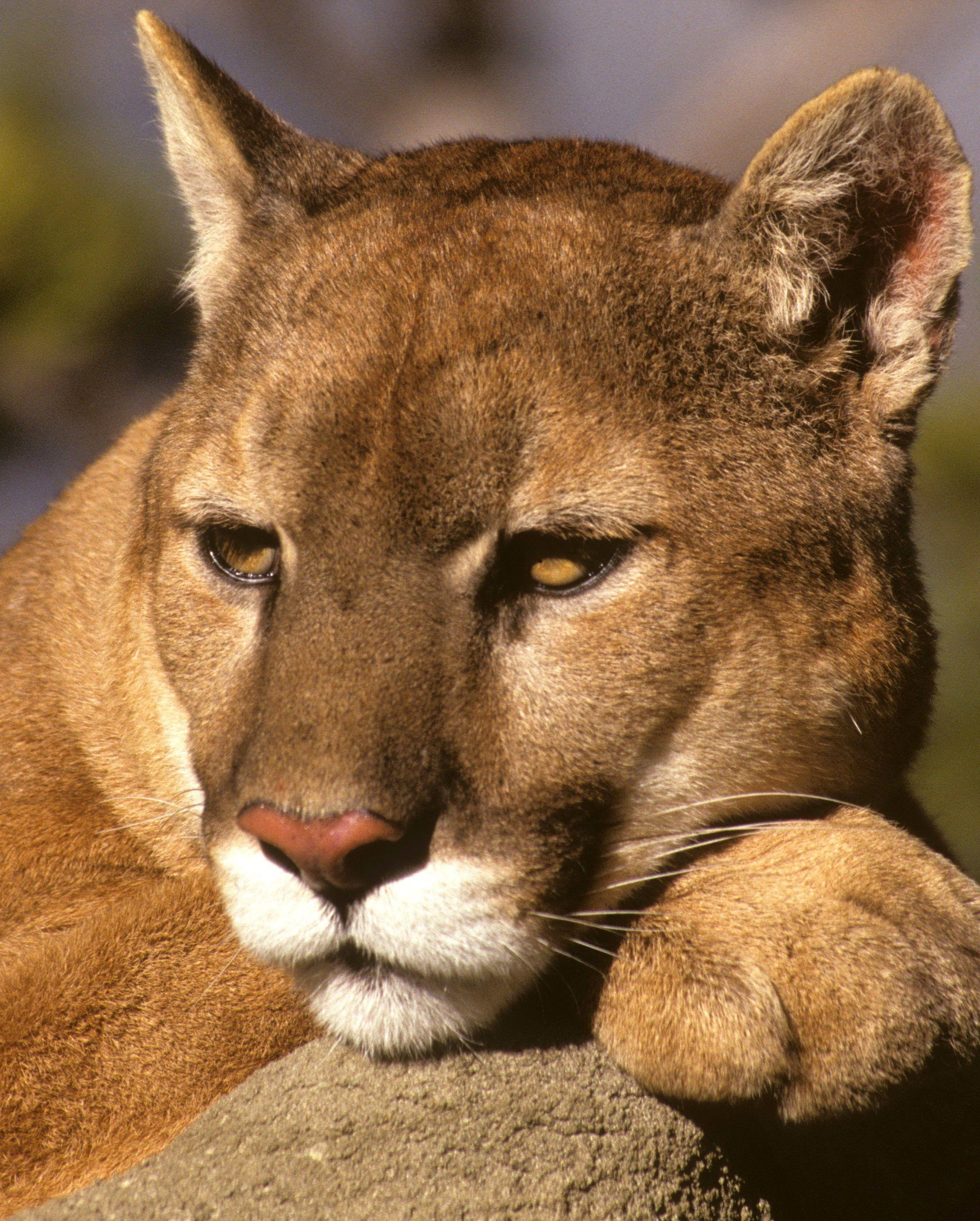 ec8b890a6f105 Cougar  cette espèce est désormais éteinte. Par LEXPRESS.fr