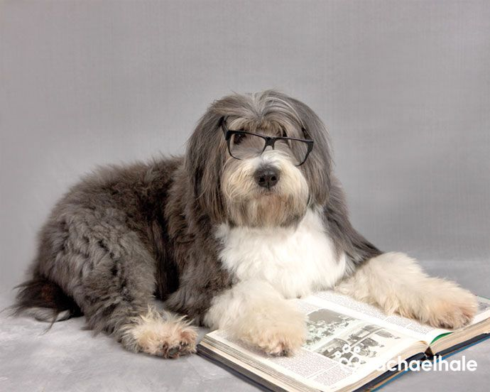 Dickens (Bearded Collie) - Dickens likes a good shaggy dog story..love Bearded Collies.