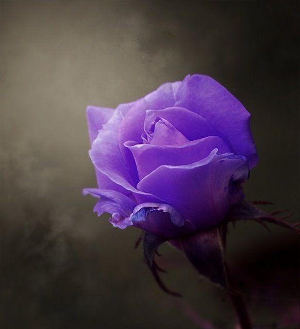 Photo By Photographer Maria Maria Purple Roses Beautiful