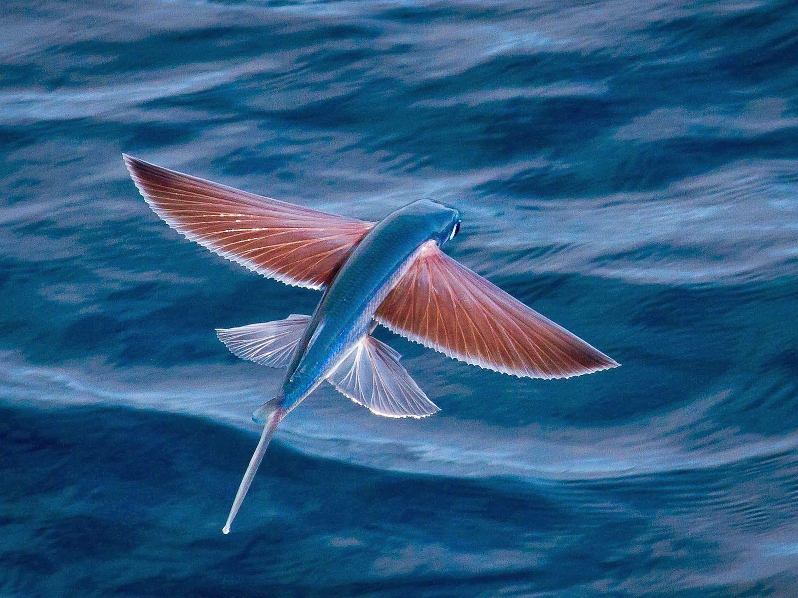 flying fish wals Water animals, Beautiful fish, Sea animals