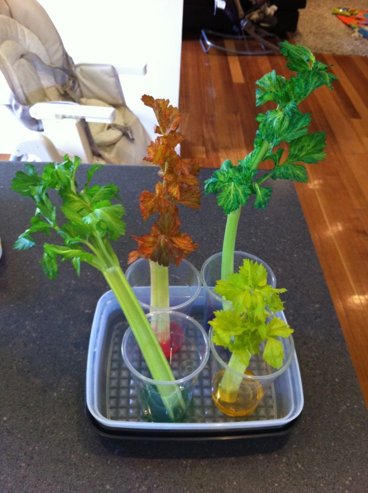 Great science activity for children, which teaches them that plants need and draw water for survival.
