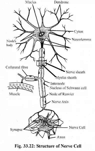 for Class 11 Biology Chapter 33 जन्तु ऊतक