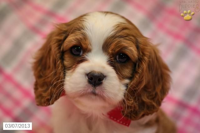 Chelsie Cavalier King Charles Spaniel Puppy For Sale In New