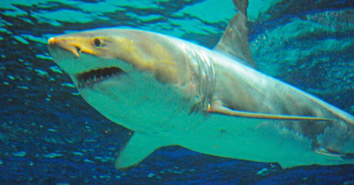 Great white shark dies after 3 days in Japanese aquarium ...