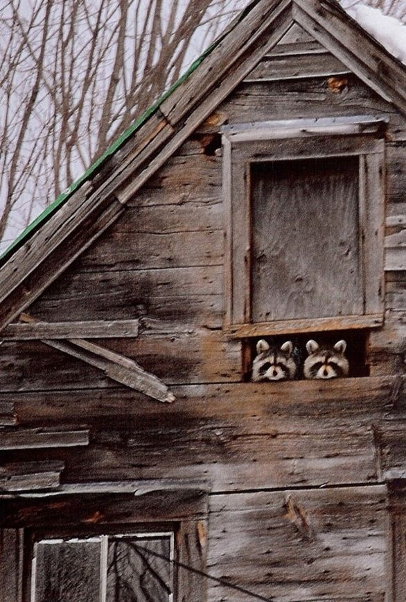 A Pair Of Racoons In The Barn S Attic Animals Beautiful Farm Life Animals Wild