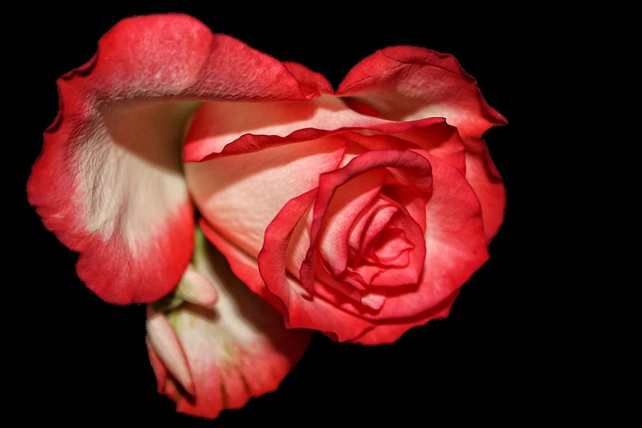 Rose Blossom Bloom transparent image