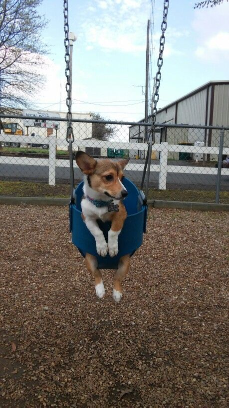 Corgi in a baby swing. Can't get any cuter.