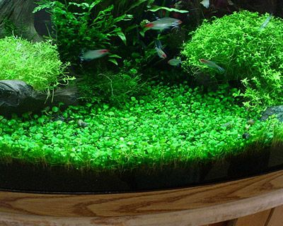 Marsilea minuta a carpeting plant for freshwater for Easy aquatic plants
