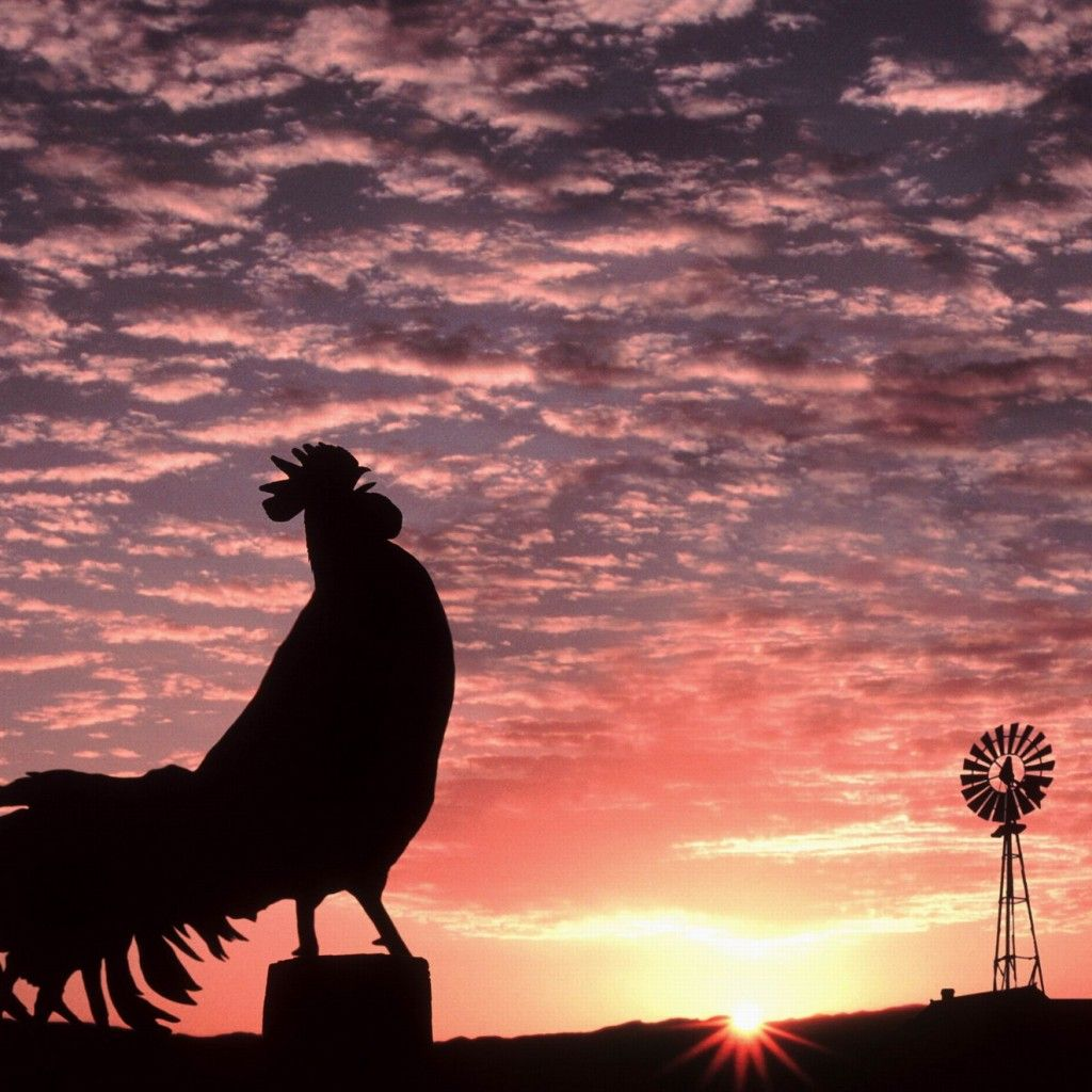 how to stop a rooster from crowing in the morning