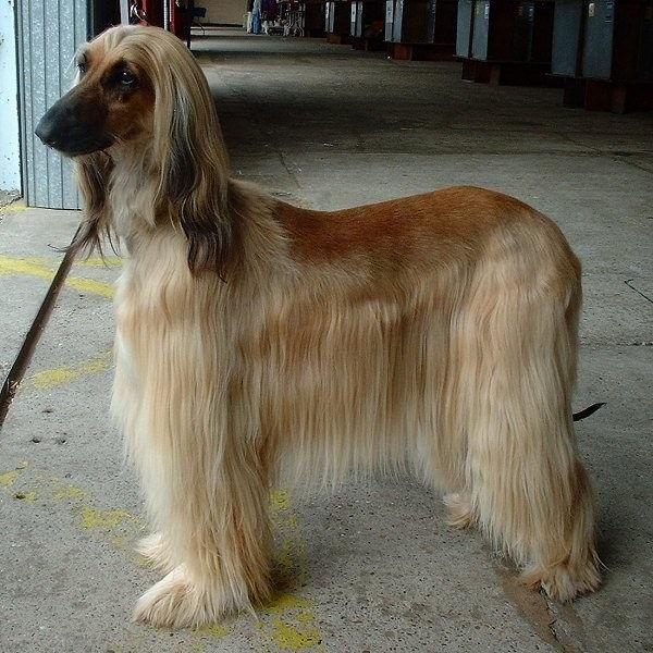 Groom A Dog Hound Dog Breeds Afghan Hound Dog Breeds