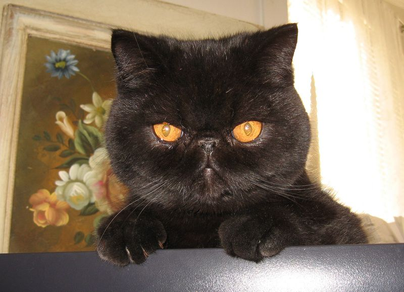 This is Carlos Muffin, the Exotic Shorthair. Cute!