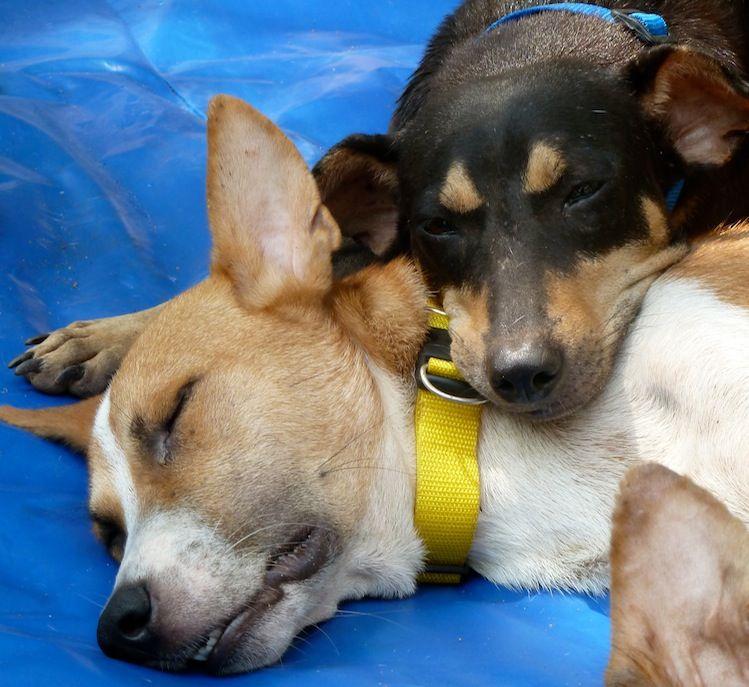 Australian Koolie Puppies Koolie Dog Puppies Cute Animals