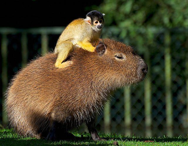Squirrel monkey  Capybara | Supervliegzus | flickr