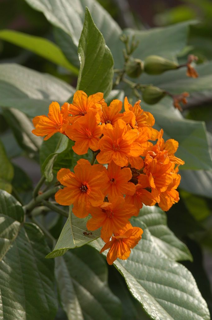 Flowers Of The Geiger Tree Is Evergreen Has Dark Orange Two Inch Wide In Cers At Branch Tips During Most Year