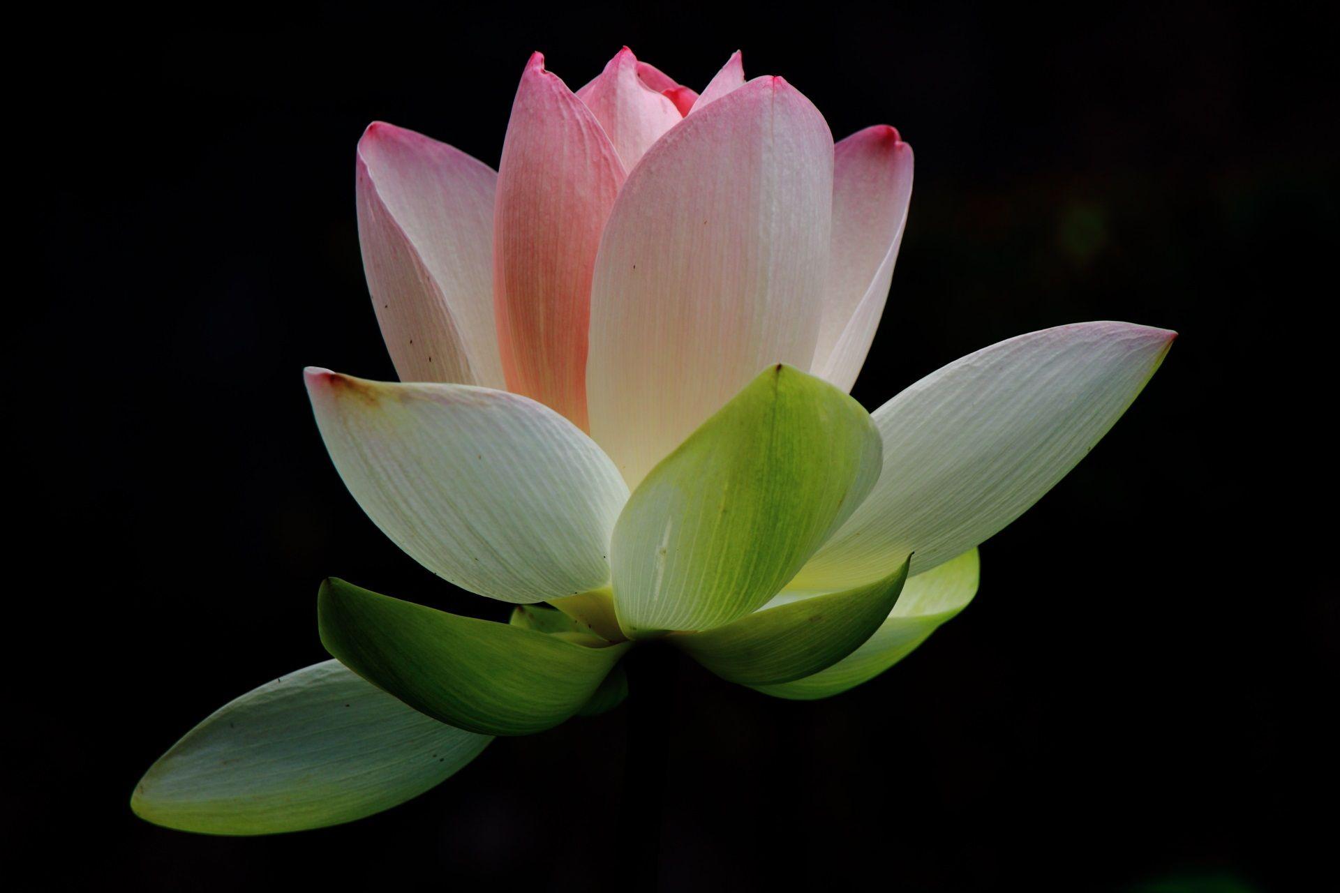 暗闇で浮かび上がる蓮の花 ハスの花 アジアのアート 蓮の花