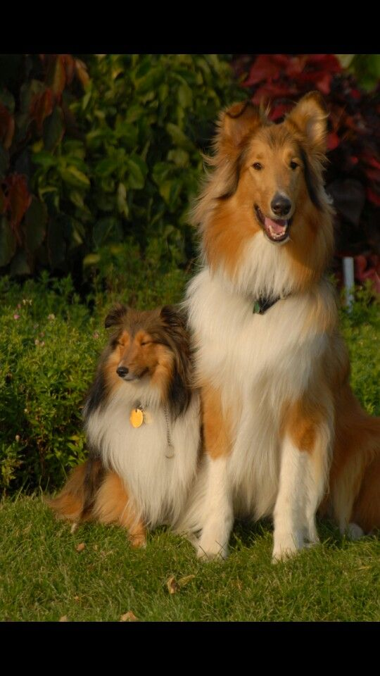 Standard Collie And Sheltie Hunderassen Hundebabys Tiere Hund