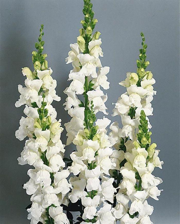 50 Seeds Sonnet White Antirrhinum