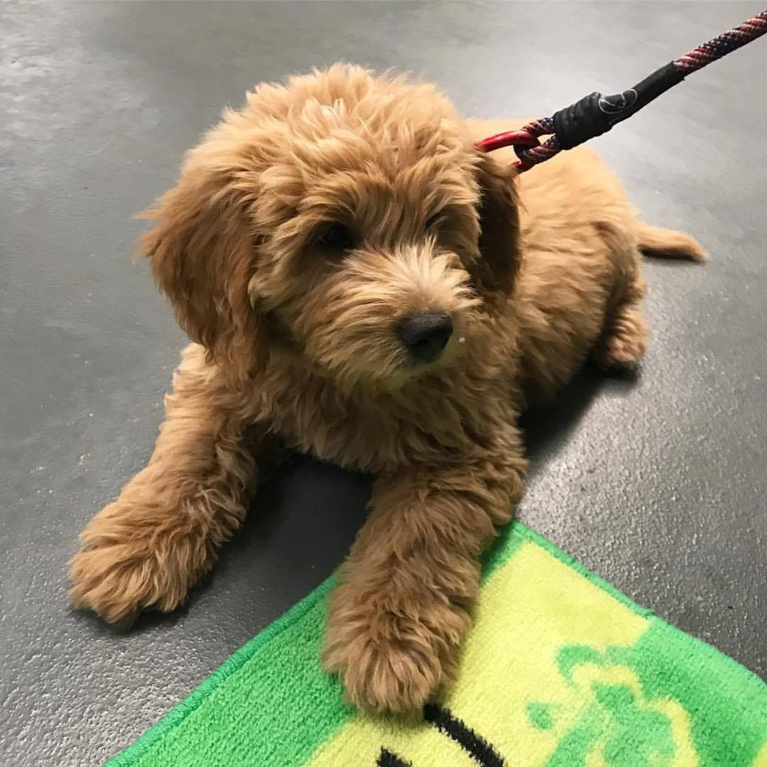 Pin by Queen Mama Diaries on Oh Puppy Mini goldendoodle