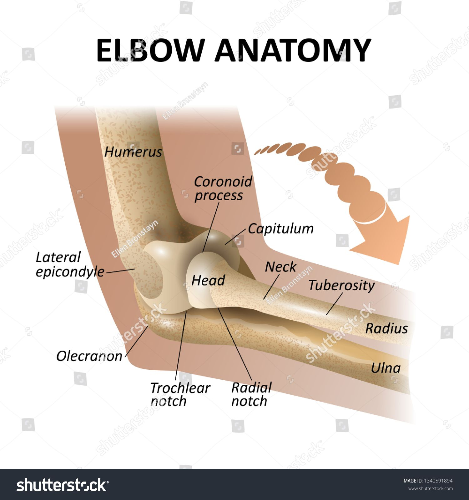 Anatomy of the elbow joint, medical education background ...