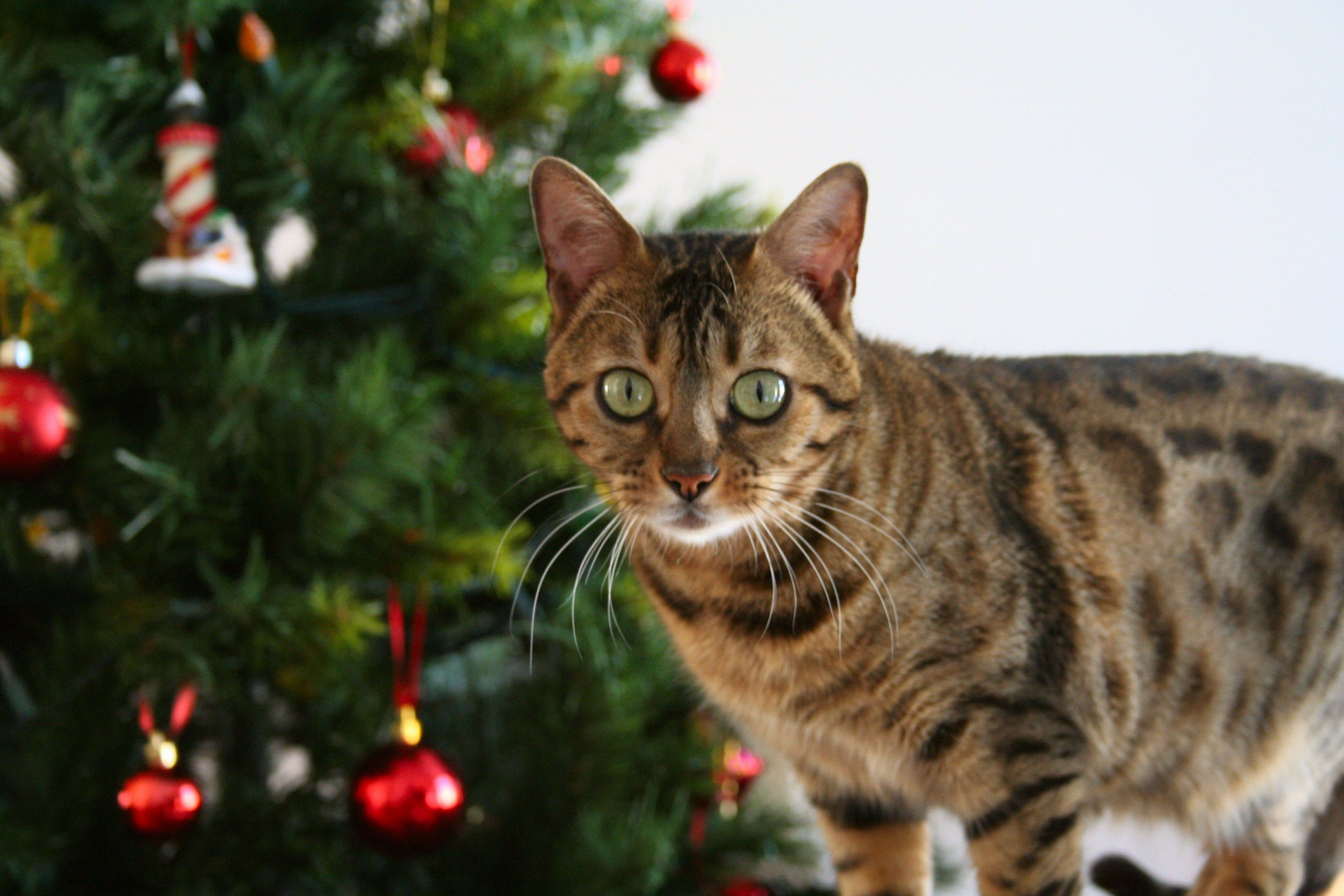 5 Ways You Can Give To Cats In Need This Christmas Pet Holiday Christmas Cats Pet Safety