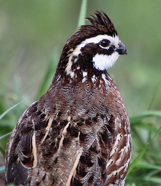 Bobwhite Quail | Pennsylvania Polka | Quail hunting, Quail, Birds