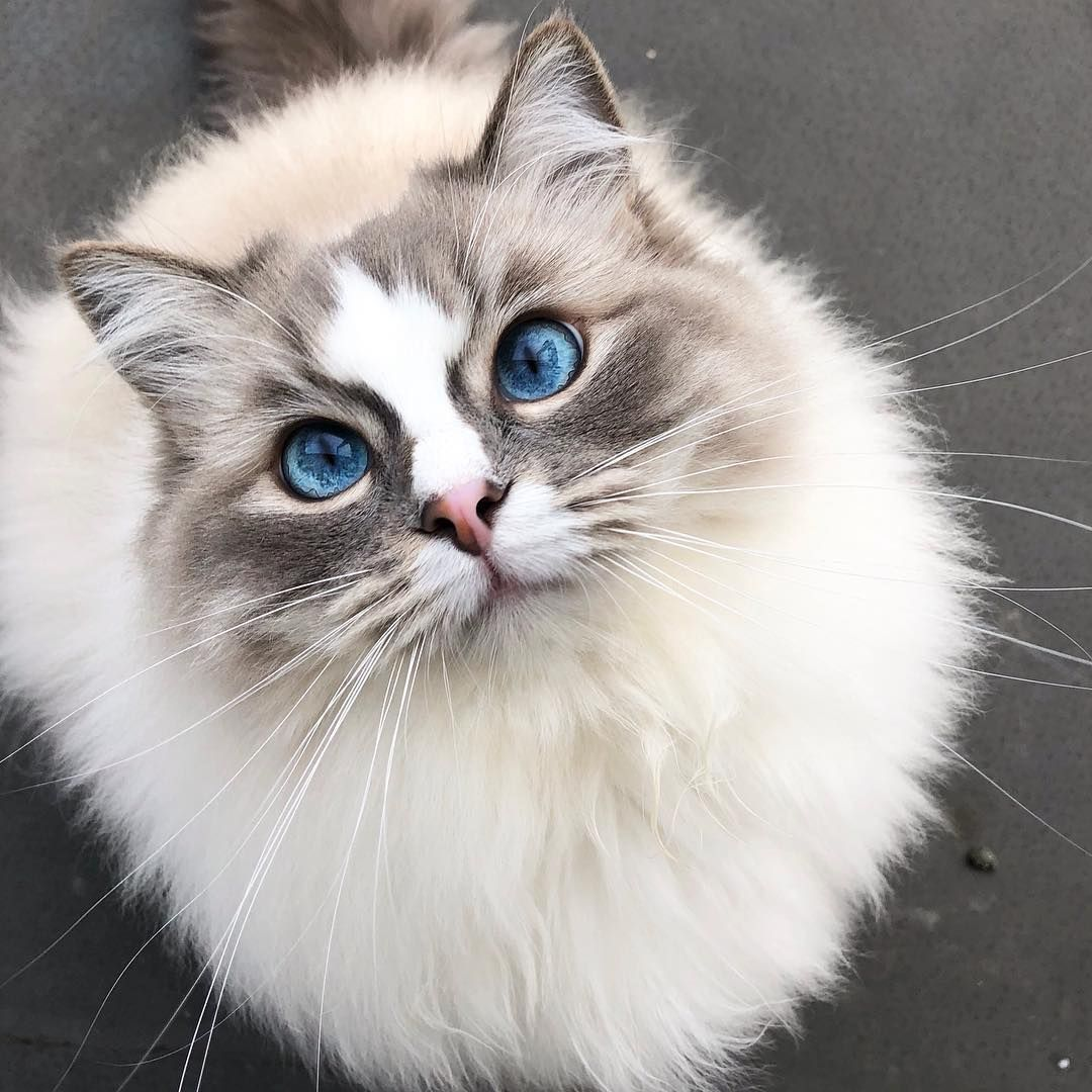 Snowflake Always Looks Up With Her Big Blue Eyes As If To Say I Love You Or Give Me Treats Cute Cats Cats Cute Animals