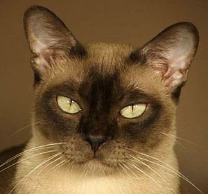 A Sweet Natured Burmese Cat Burmese Cat Rare Cats Tonkinese Cat