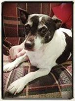 Casper is a male Foxi 9 yrs old, beautiful old boy with plenty of love left to give He is a Claws 'N' Paws Pet Rescue and needs a forever home. Please read more about Casper here http://bit.ly/1vDZ9oI