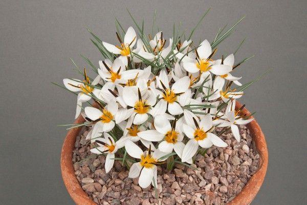 Crocus biflorus subsp. nubigena