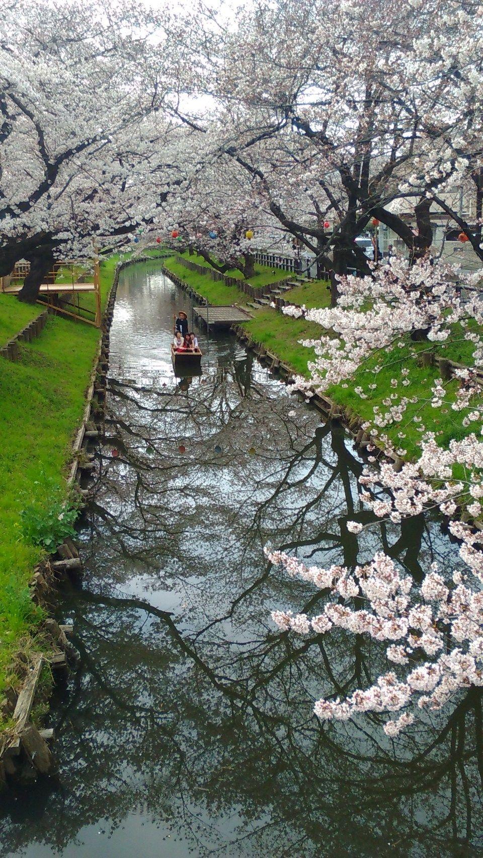 Cherry Blossoms Shingashi River Kawagoe In Saitama Cherry Blossom Japan Kawagoe Cherry Blossom
