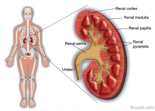 Kidney location images human anatomy organs diagram labeled diagram of a nephron and its location and functions diagram ccuart Image collections