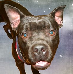 Adopt Greta On Petfinder French Bulldog Dog Dogs Boxer Mix
