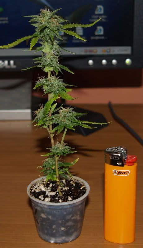 Micro Micro Grow Marijuana Growing Forum Cannabis
